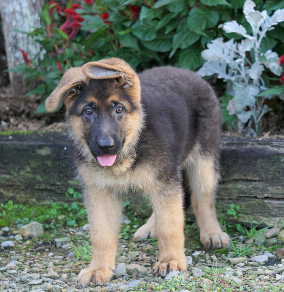 AKC Registered German Shepherd For Sale Baltic, OH Female- Lindsay