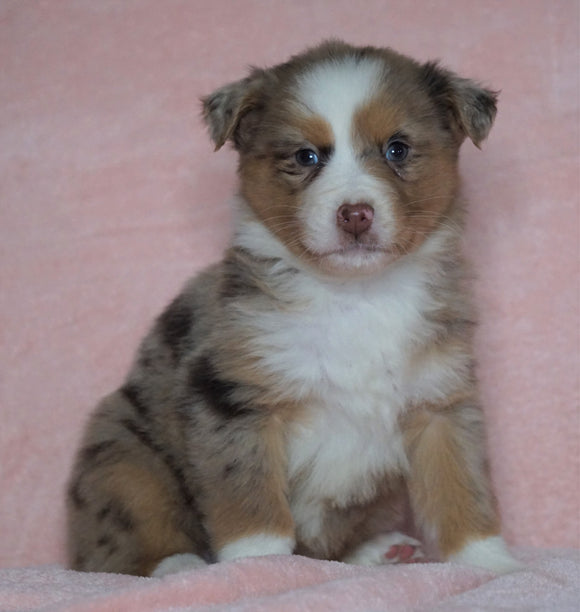 Australian Shepherd For Sale Baltic, OH Female - Tinker Bell -BLUE EYES-CHECK OUT OUR VIDEO-
