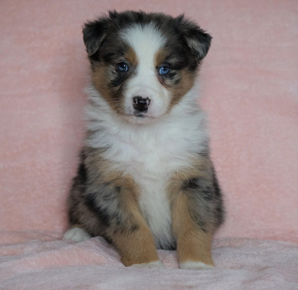 Australian Shepherd For Sale Baltic, OH Male - Rubble  -BLUE EYES-CHECK OUT OUR VIDEO-