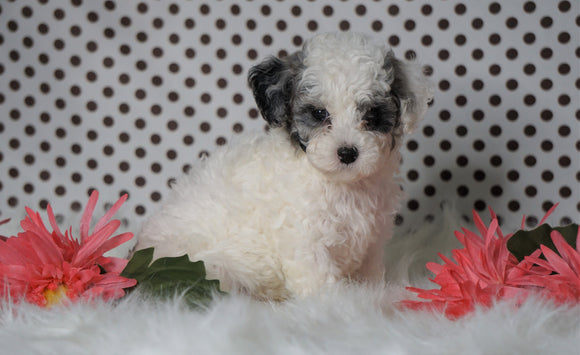 ICA Registered Miniature Poodle For Sale Fredericksburg, OH Male- Manny