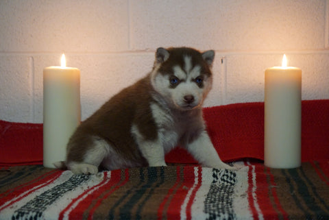 AKC Registered Siberian Husky For Sale Fredericksburg, OH Female- Daisy