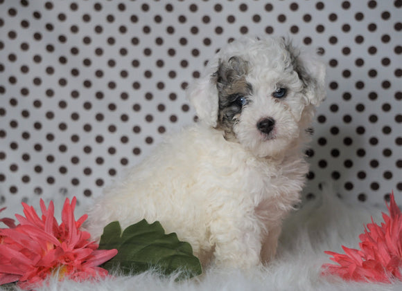 ICA Registered Miniature Poodle For Sale Fredericksburg, OH Male- Mason