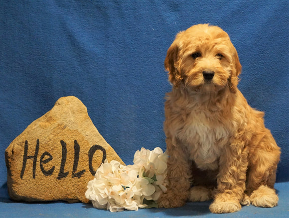 F1B Mini Goldendoodle For Sale Holmesville, OH Female - Buttercup