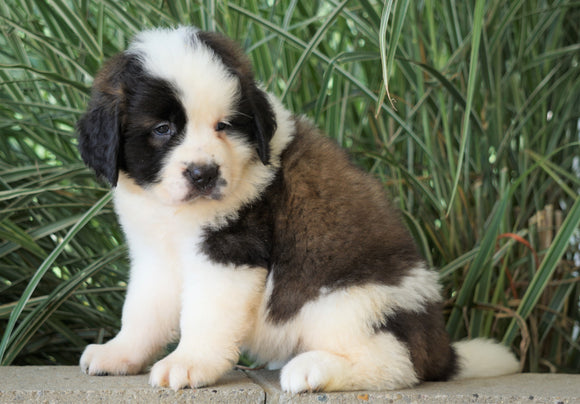 AKC Registered Saint Bernard For Sale Millersburg, OH Female- Charlotte