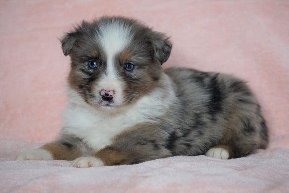 Australian Shepherd For Sale Baltic, OH Male - Marshall  -BLUE EYES-CHECK OUT OUR VIDEO-