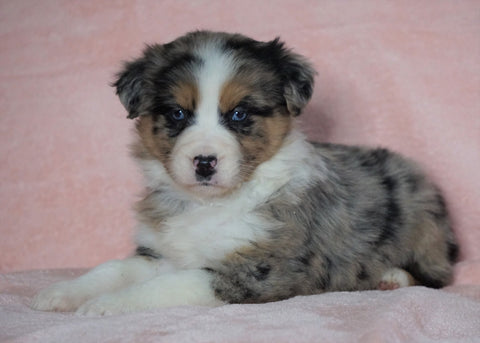 Australian Shepherd For Sale Baltic, OH Female - Elsa  -BLUE EYES-CHECK OUT OUR VIDEO-