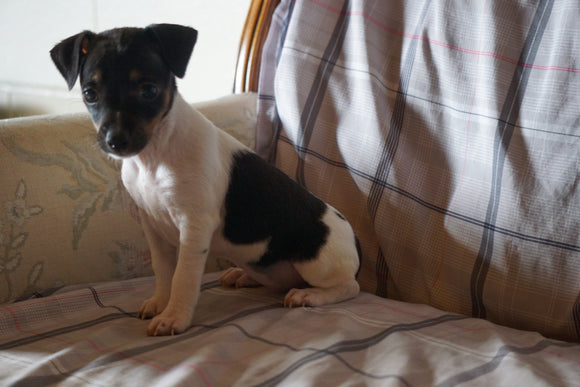 Toy Fox Terrier For Sale Millersburg, OH Female- Molly