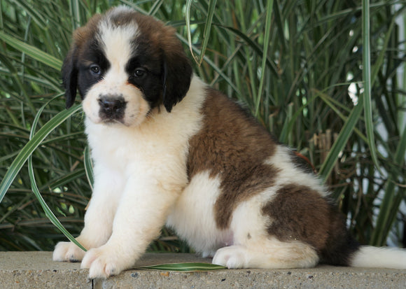 AKC Registered Saint Bernard For Sale Millersburg, OH Female- Kayla