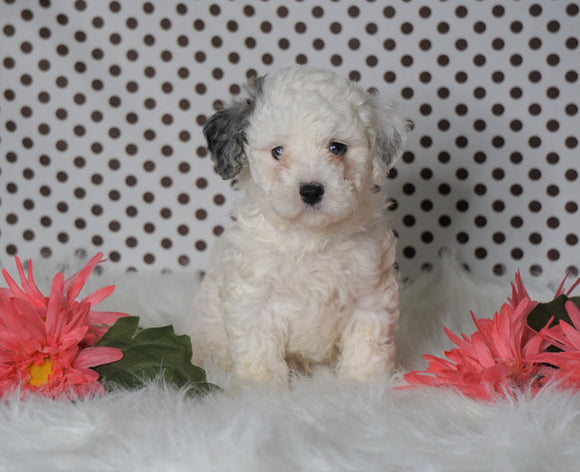 ICA Registered Miniature Poodle For Sale Fredericksburg, OH Male- Meeko