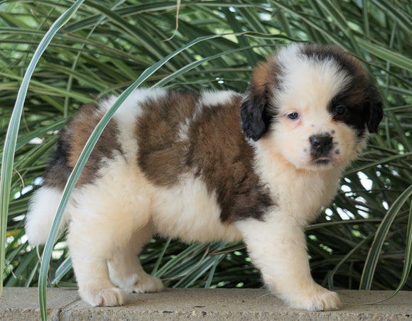 AKC Registered Saint Bernard For Sale Millersburg, OH Female- Ava