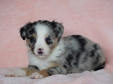 Australian Shepherd For Sale Baltic, OH Female - Mary -CHECK OUT OUR VIDEO-