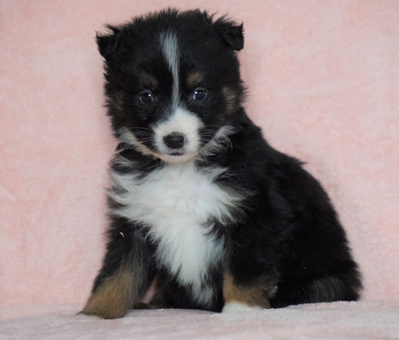 Australian Shepherd For Sale Baltic, OH Female - Jenny- CHECK OUT OUR VIDEO-