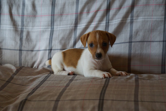Toy Fox Terrier For Sale Millersburg, OH Male- Chief