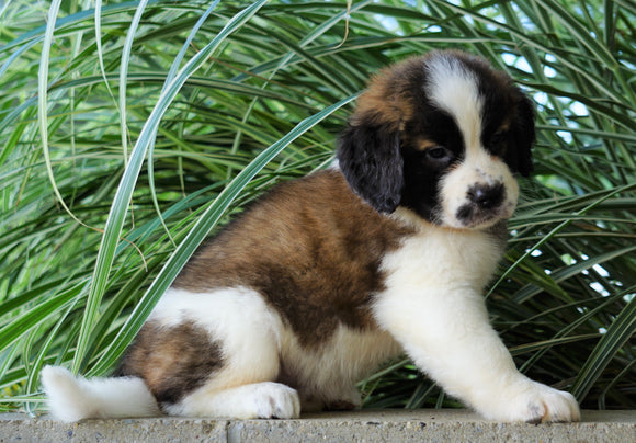 AKC Registered Saint Bernard For Sale Millersburg, OH Female- Angela