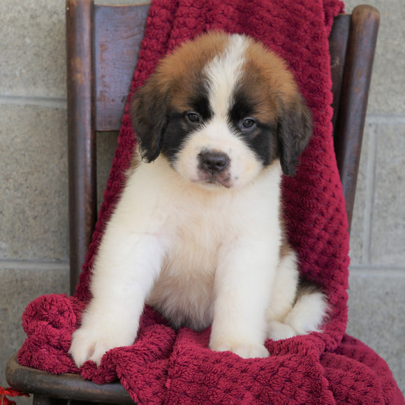 AKC Registered Saint Bernard For Sale Millersburg, OH Male- Cody