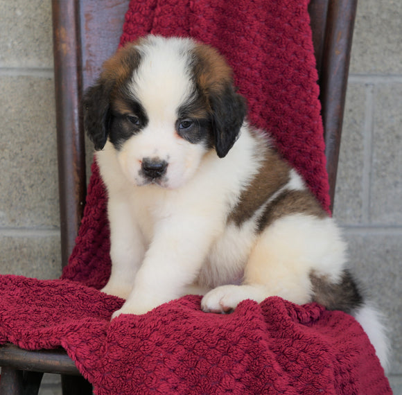 AKC Registered Saint Bernard For Sale Millersburg, OH Male- Jackson