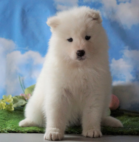 AKC Registered Samoyed For Sale Fredericksburg, OH Female - Samantha