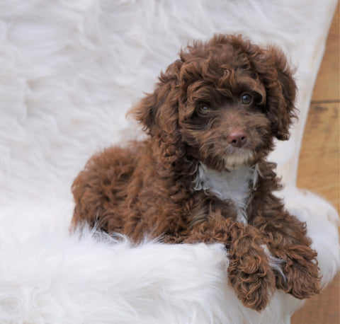 Cockapoo Puppy For Sale Dundee, OH Male- Grant