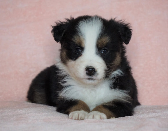 Australian Shepherd For Sale Baltic, OH Male - Rocky -CHECK OUT OUR VIDEO-