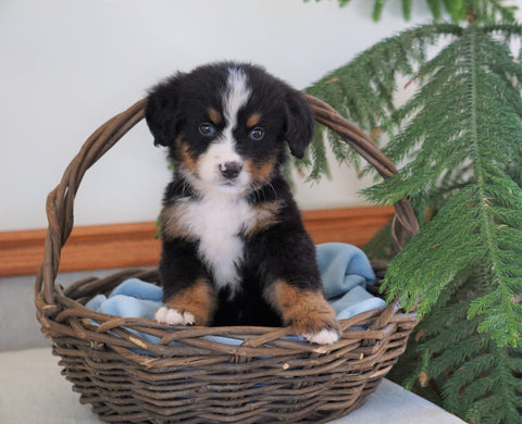AKC Registered Bernese Mountain Dog For Sale Shiloh, OH Male- Bradley