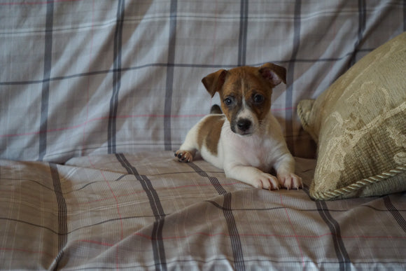 Toy Fox Terrier For Sale Millersburg, OH Male- Sparky