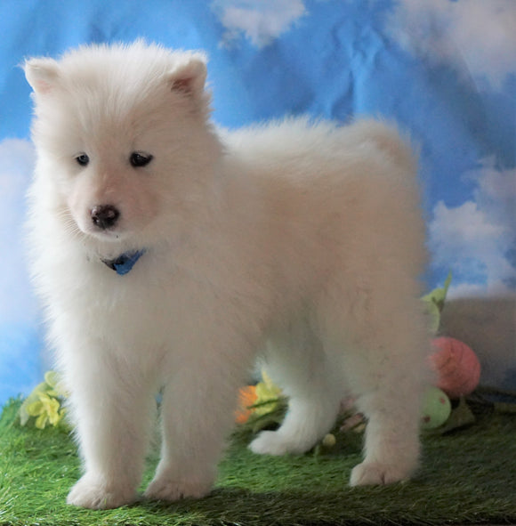 AKC Registered Samoyed For Sale Fredericksburg, OH Male - Skyler