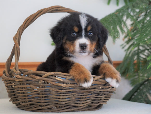 AKC Registered Bernese Mountain Dog For Sale Shiloh, OH Male- Baxter