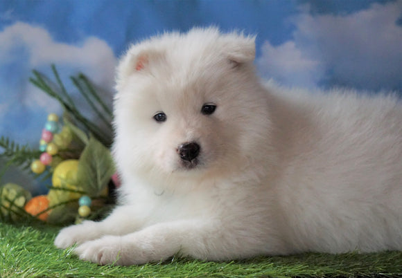 AKC Registered Samoyed For Sale Fredericksburg, OH Male - Snowball