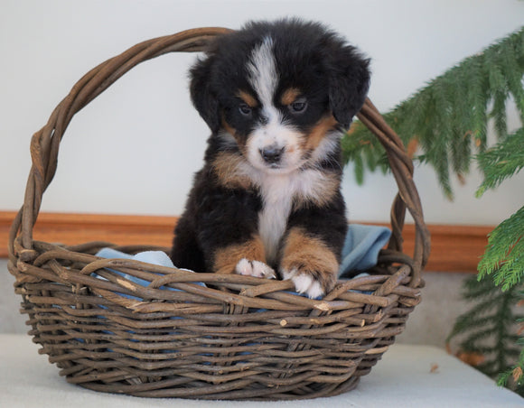 AKC Registered Bernese Mountain Dog For Sale Shiloh, OH Male- Bowser