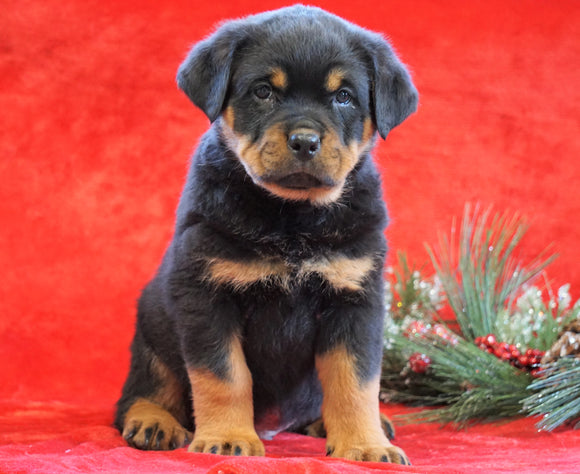 AKC Registered Rottweiler For Sale Holmesville, OH Male - Randy