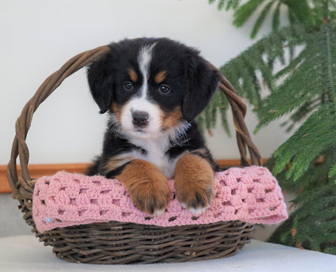 AKC Registered Bernese Mountain Dog For Sale Shiloh, OH Female- Brenda