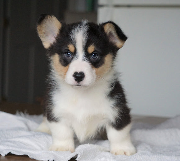 AKC Registered Pembroke Welsh Corgi For Sale Millersburg, OH Male - Rocky