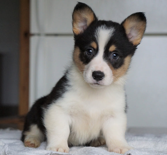 AKC Registered Pembroke Welsh Corgi For Sale Millersburg, OH Male - George