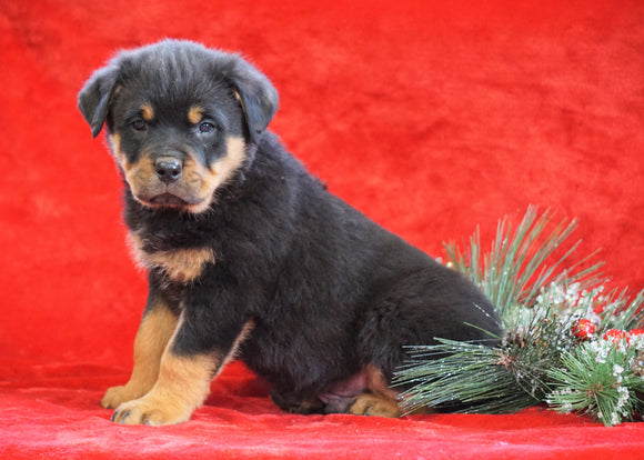AKC Registered Rottweiler For Sale Holmesville, OH Male - Ace