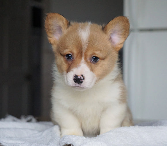 AKC Registered Pembroke Welsh Corgi For Sale Millersburg, OH Male - Flint