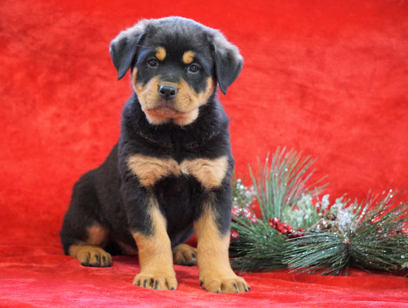 AKC Registered Rottweiler For Sale Holmesville, OH Female - Carly