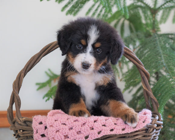 AKC Registered Bernese Mountain Dog For Sale Shiloh, OH Female- Bonny