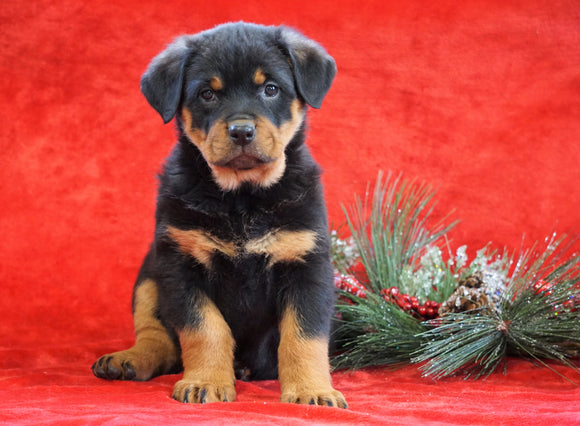 AKC Registered Rottweiler For Sale Holmesville, OH Female - Lexi