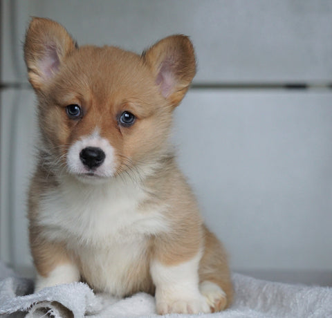 AKC Registered Pembroke Welsh Corgi For Sale Millersburg, OH Female - Sadie