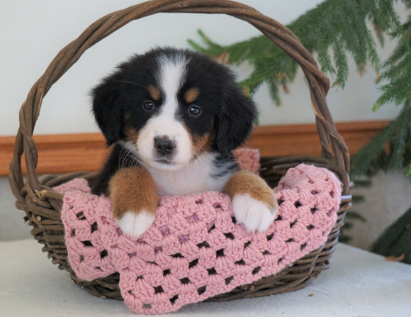 AKC Registered Bernese Mountain Dog For Sale Shiloh, OH Female- Brookes