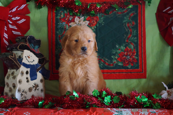 AKC Registered Golden Retriever For Sale Sugarcreek, OH Male- George