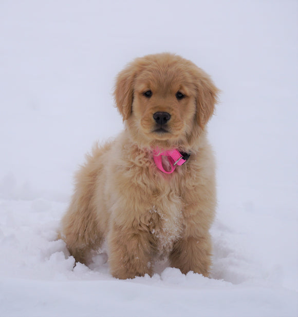 AKC Registered Golden Retriever For Sale Fredericksburg, OH Female- Petunia