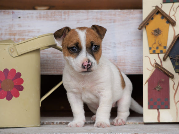 Jack Russell Terrier For Sale Apple Creek, OH Male- Rocky