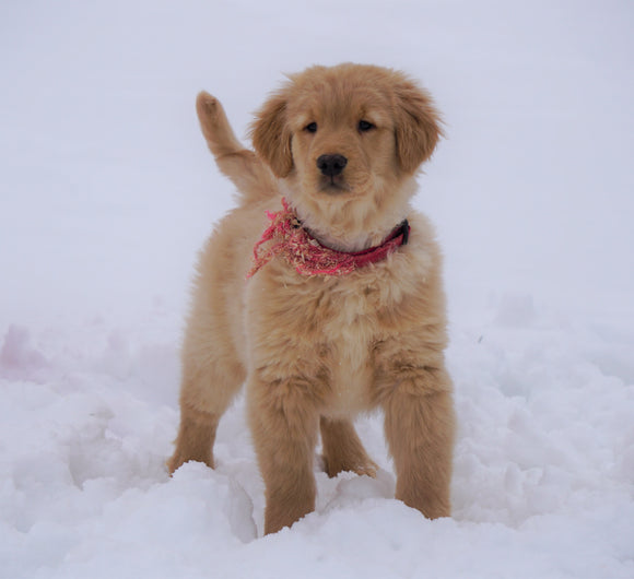 AKC Registered Golden Retriever For Sale Fredericksburg, OH Male- Beau