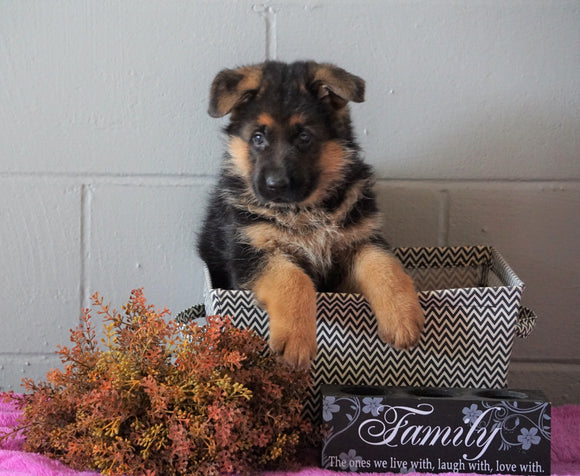 AKC Registered German Shepherd For Sale Millersburg, OH Female - Sheila