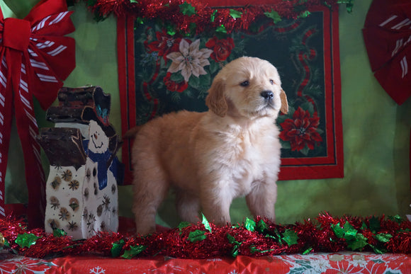 AKC Registered Golden Retriever For Sale Sugarcreek, OH Male- Adam