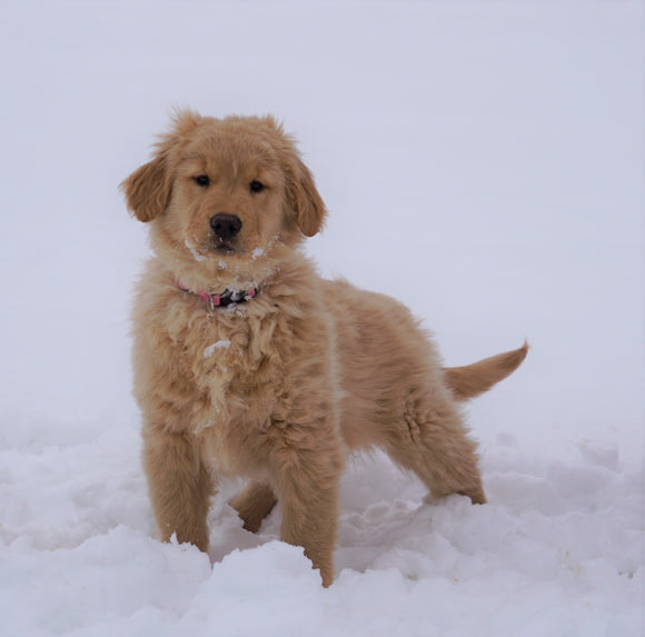 AKC Registered Golden Retriever For Sale Fredericksburg, OH Female- Lilly