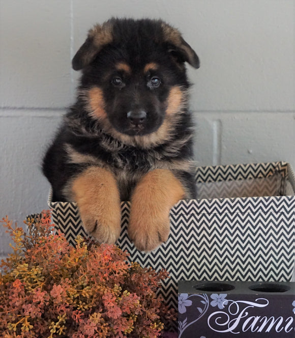 AKC Registered German Shepherd For Sale Millersburg, OH Male - Branson