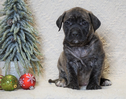 AKC Registered English Mastiff For Sale Baltic, OH Female - Khloe