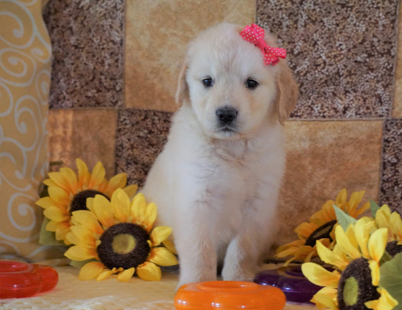 AKC Registered Golden Retriever For Sale Sugarcreek, OH Female- Lollipop